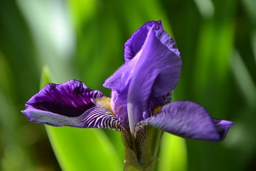 n°12 - Iris 'Monsignor'
