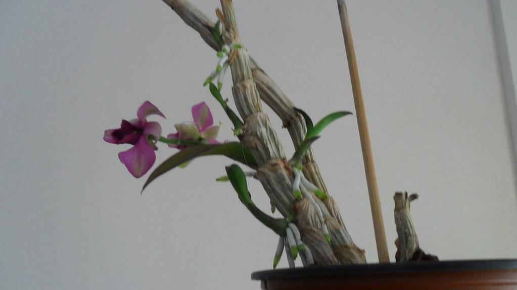 Inflorire dendrobium forumul-florilor - Pagina 13 8720675300_7ac45f8861_b