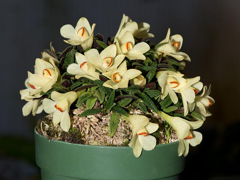Dendrobium  cuthbertsonii - Seite 2 9127771984_d8a8c413bd_o