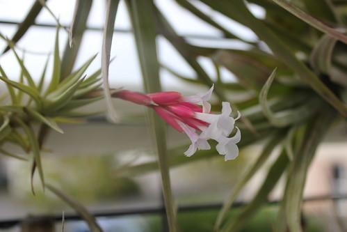 Tillandsia cocoensis