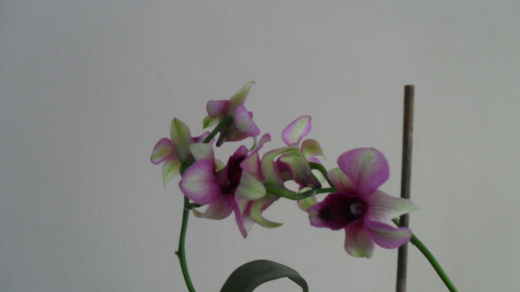 Inflorire dendrobium forumul-florilor - Pagina 14 8720664612_d788d17439_b