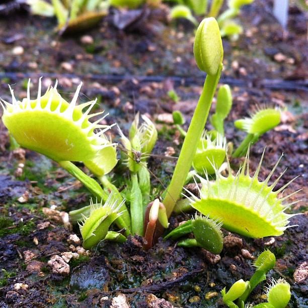 Dionaea cross teeth #1