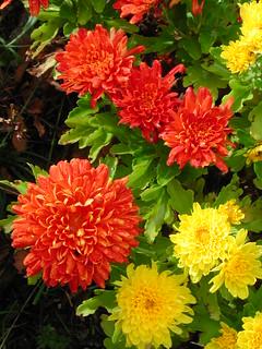 Chrysanthemum ×grandiflorum