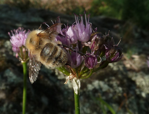 Allium lusitanicum - ail des collines, ail trompeur 10165706105_fb8843834e