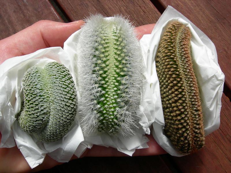 T. psuedopectinatus, Escobaria laredoi, Copiapoa crests!