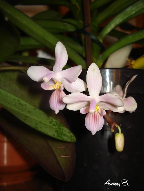 Phalaenopsis lindenii x Silbergrübe 12370300133_1fffbaa2d7_z