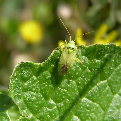Plagiotylus maculatus - 23/06/12