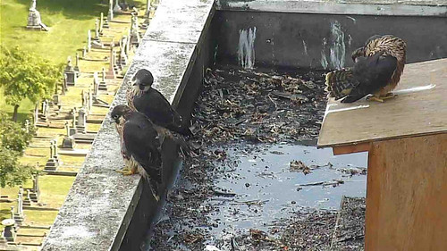 Day 42  - 3 young peregrines
