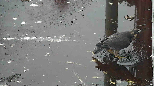 Day 40  - young peregrine in a puddle