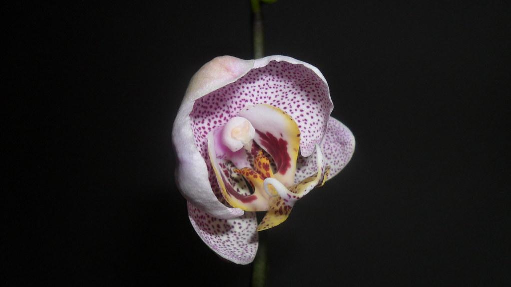Phalaenopsis evolutii forumul florilor - Pagina 13 7466763742_02f0c0b9c6_b