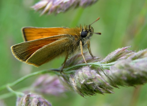 Thymelicus sylvestris  - Hespérie de la houque  ou Bande noire ou Thaumas - Small Skipper  - 18/06/12