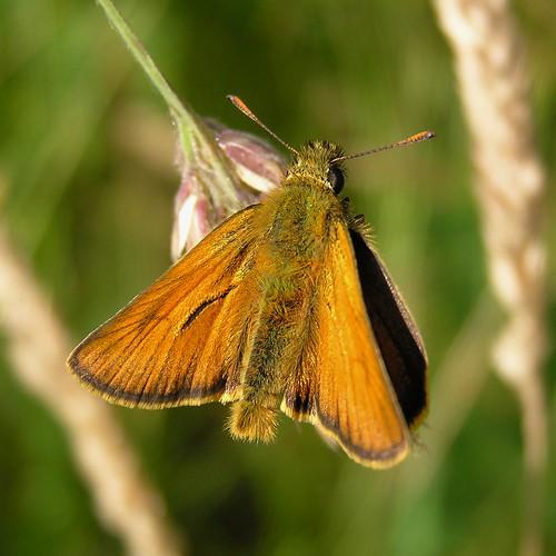 Thymelicus sylvestris  - Hespérie de la houque ou Bande noire ou Thaumas - Small Skipper  -  29/06/12