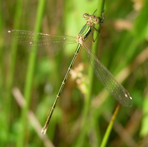 Lestes barbarus - Migrant Spreadwing or Southern Emerald Damselfly - Leste barbare ou Leste sauvage - 27/06/12