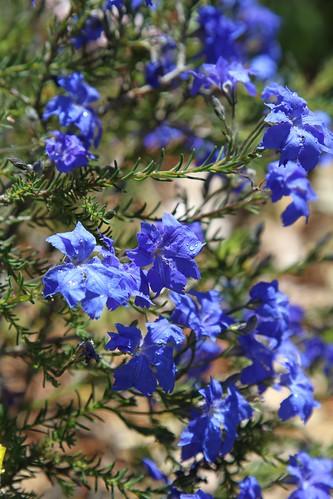 Calendrinia polyandra, Verticordia etheliana, Boronia crenulata, Lachenaultia biloba [devinette] 7991461518_02af09da8c