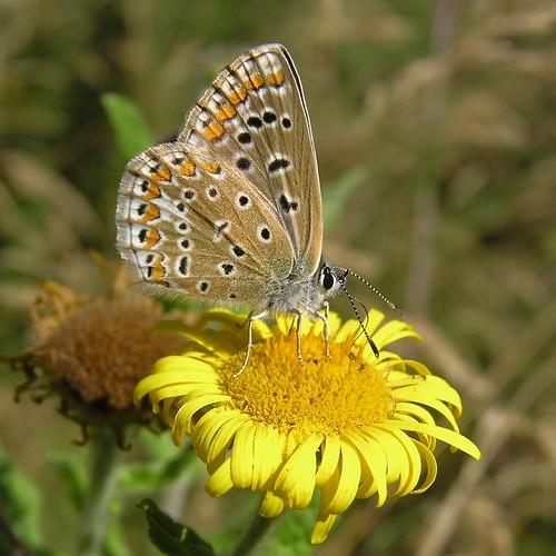 Polyommatus icarus - Common Blue - Azuré commun ou Azuré de la Bugrane - 07/09/12