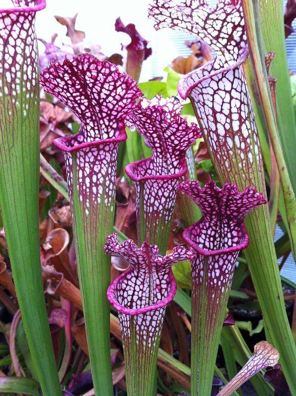 Les peut être dernière photos de leucophylla de 2012 8114697360_f288a62366_c