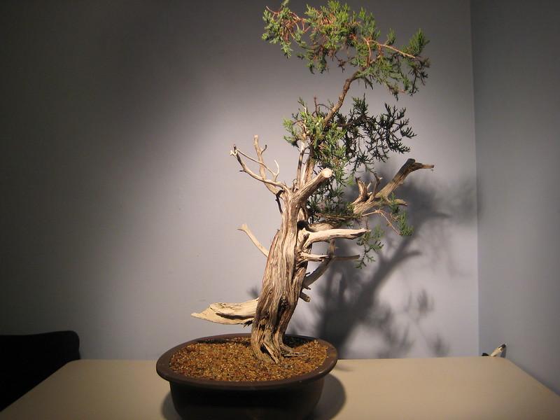 Ashe Juniper (Vito Megna tree) design help needed 8279417098_ba6693ffa3_c