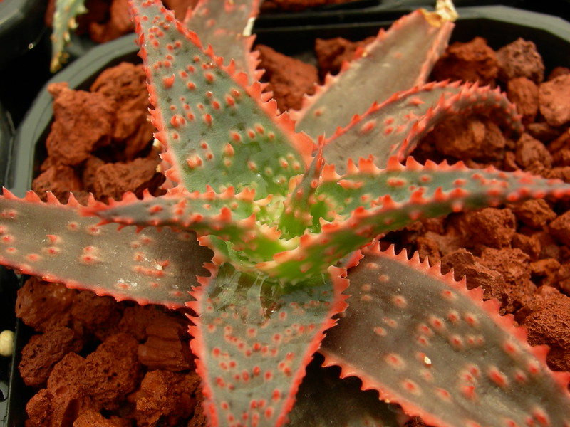 Aloe hybrids 8326197829_9033db133a_c
