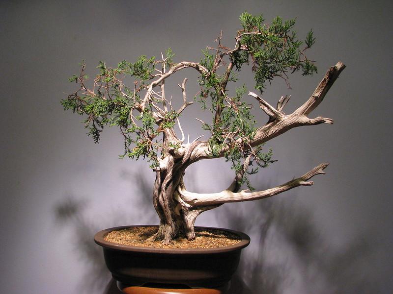 Ashe Juniper (Vito Megna tree) design help needed 8289535149_1415e97b63_c
