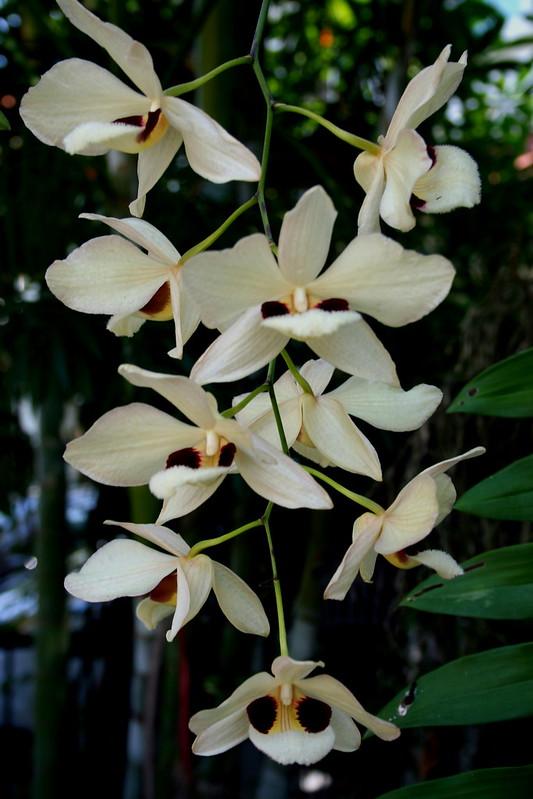 Dendrobium pulchellum 8396758901_984c82e897_c
