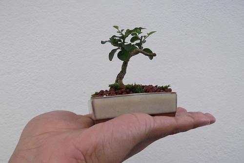 Growing a young Jacaranda 8581036948_159872c94f