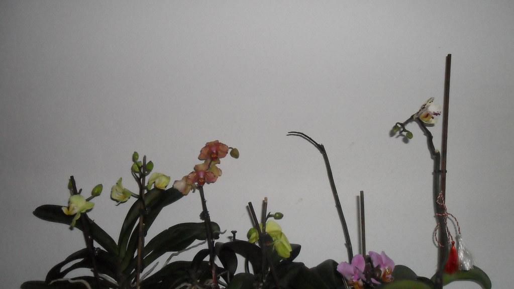 Reinflorire phalaenopsis forumul-florilor - Pagina 5 8619878778_848718880b_b