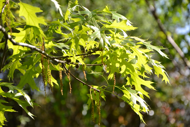 Quercus rubra, Quercus coccinea, Quercus palustris - chênes rouges américains 8706923739_cc4588d74c_z