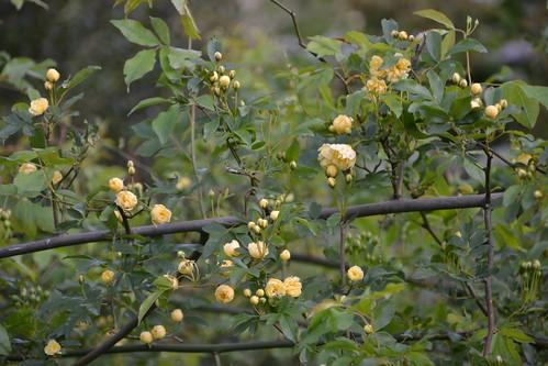 Rosa banksiae 'Lutea Plena' 8707618569_d1fef028b3