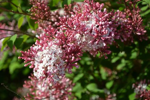 Syringa josikaea - lilas de Hongrie 8707485597_65f9c722bb