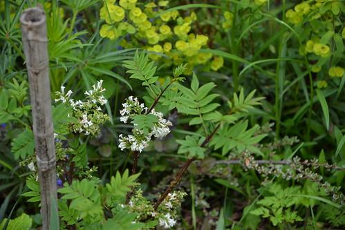 Syringa pinnatifolia 8710245918_d08afeb3f5