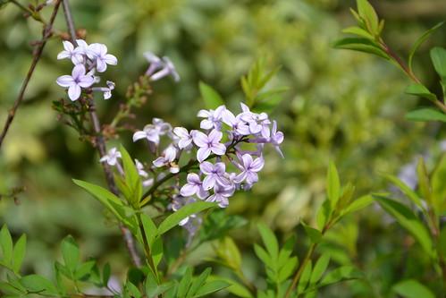 Syringa protolaciniata et espèces voisines 8710686039_8aabda7bfa