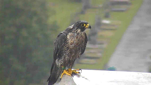Day 97 - a Peregrine or a drowned rat?