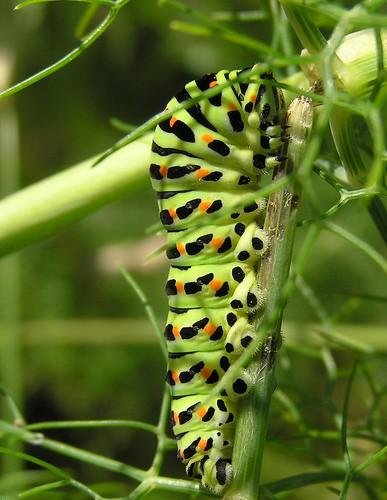 Papilio machaon - Old World Swallowtail - Machaon - 23/06/12