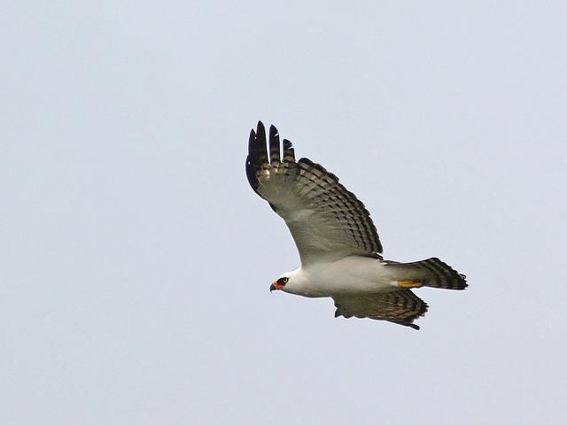 Falconiformes. Família  Acciptridae - Subfamília Buteonidade- Gaviões de penacho. genêro SPIZAETUS 7694616582_99c4cb00fb_z
