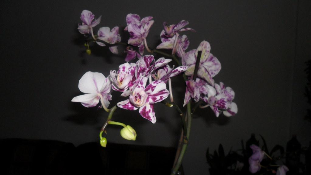 Phalaenopsis evolutii forumul florilor - Pagina 13 7466758024_c732e44d98_b