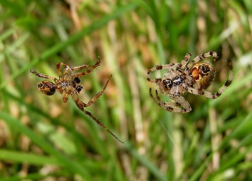 Araneus quadratus - Épeire carrée ou Épeire à quatre points - Four-spot orb-weaver - 26/08/12