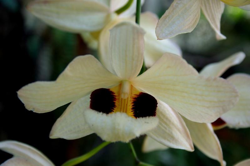 Dendrobium pulchellum 8397845950_6632701edc_c