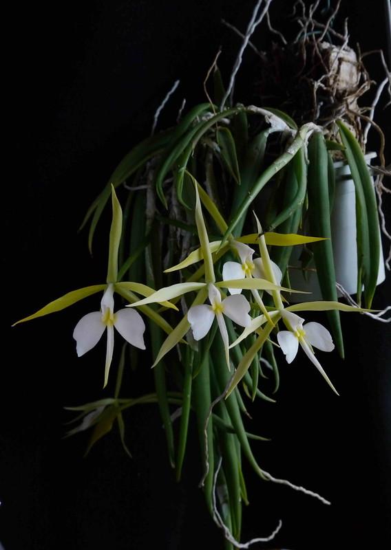 Epidendrum parkinsonianum - Seite 2 8244295532_3e8a80bc48_c