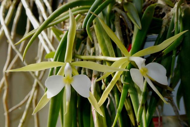Epidendrum parkinsonianum 8181717183_2989bd663c_z