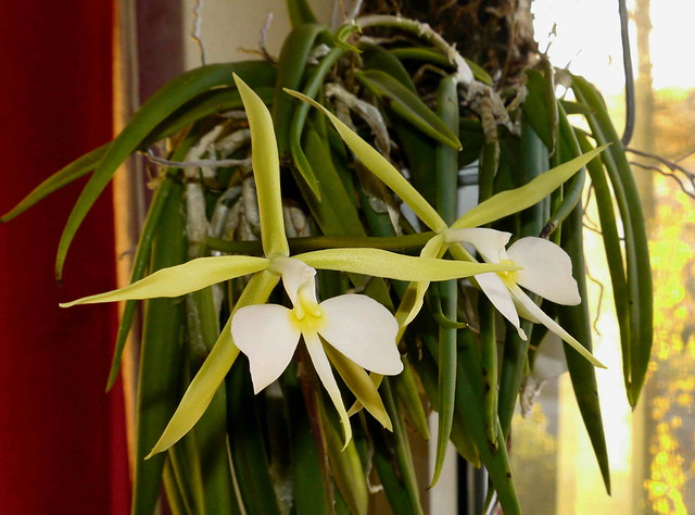 Epidendrum parkinsonianum 8181688045_3e618d6564_z