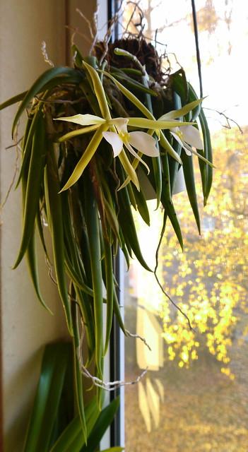 Epidendrum parkinsonianum 8181724720_d182c74cc8_z
