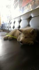 [Scrapbook] Link the Siberian Husky - Page 2 8529816738_eba33cc3bb_m