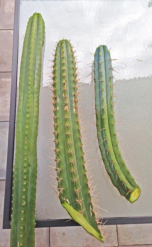 Sale - Lophophora Buttons a Crest and Trichos 8549447915_bb5969be0d_c