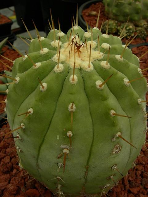 Copiapoa in cultivation 8541665784_097b52f511_z