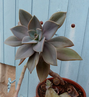 Graptoveria 'Fred Ives' 8639851860_8cdc33e53b_n