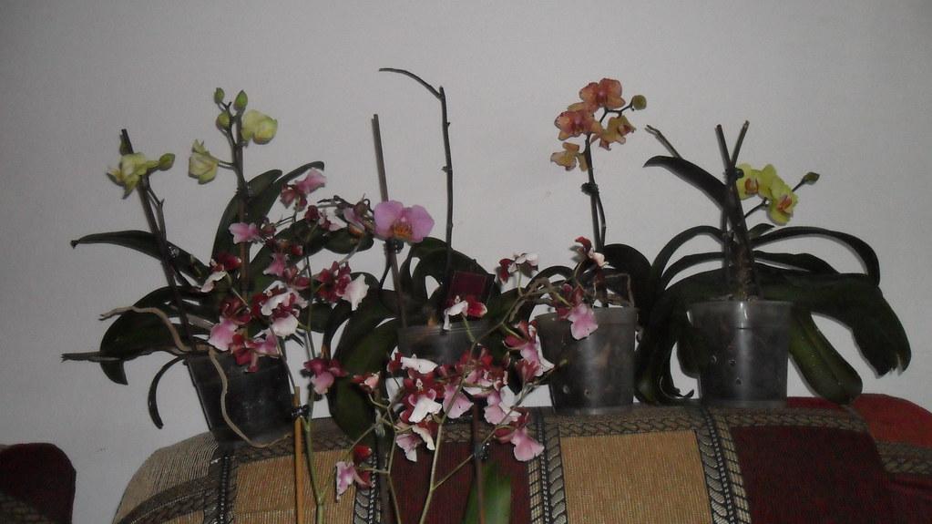 Reinflorire phalaenopsis forumul-florilor - Pagina 5 8619840492_dda5bb2c19_b