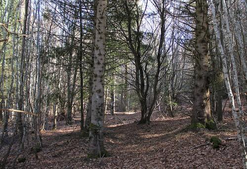 Hêtraie sapinière des Monts Breysse- 43 (4)