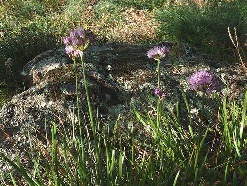 Allium lusitanicum - ail des collines, ail trompeur 10165823083_02a9f68464
