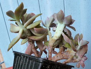Graptoveria 'Fred Ives' 8642795958_29060349d7_n