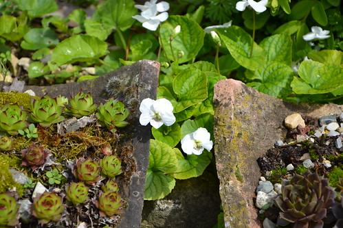 Viola sororia alba et Sempervivum